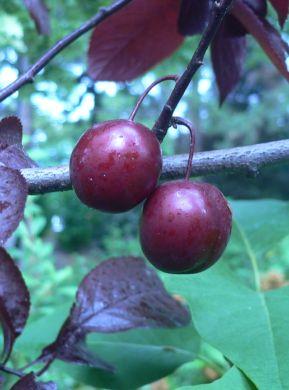 Fruit du prunus